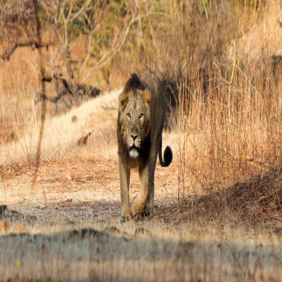 Gir Forests Safari