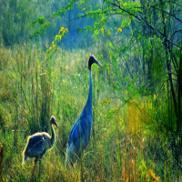 Harike_Wetland_and_bird_sanctuary_Attractions