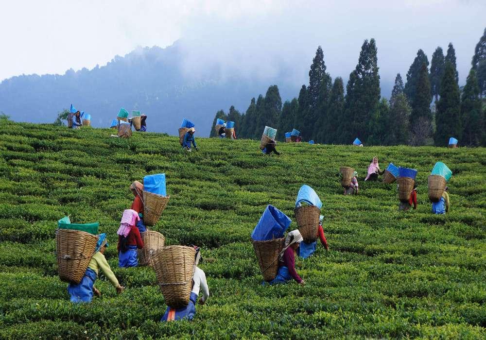 Assam_Tea_Festival_Mountains
