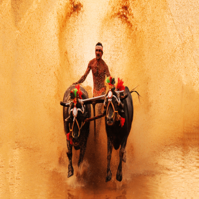 Kambala_Festival_Attractions