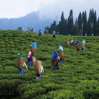 Teesta_Tea_&_Tourism_Festival_Attractions