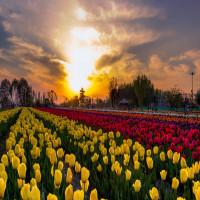Tulip_Festival_Attractions