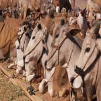 Nalwari Cattle Fair Place to visit