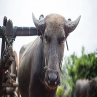 Nalwari Cattle Fair Sightseeing